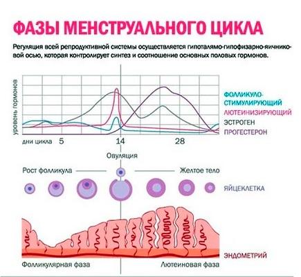 соотношение половых гормонов в разные фазы цикла