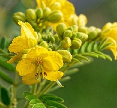 Сенна цветы