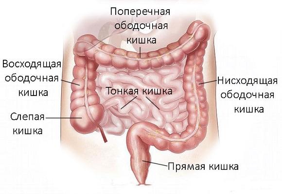 Картинка строения кишечника